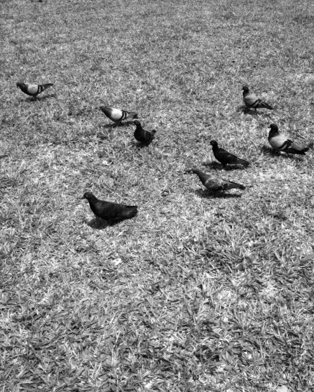Pigeons in the field
