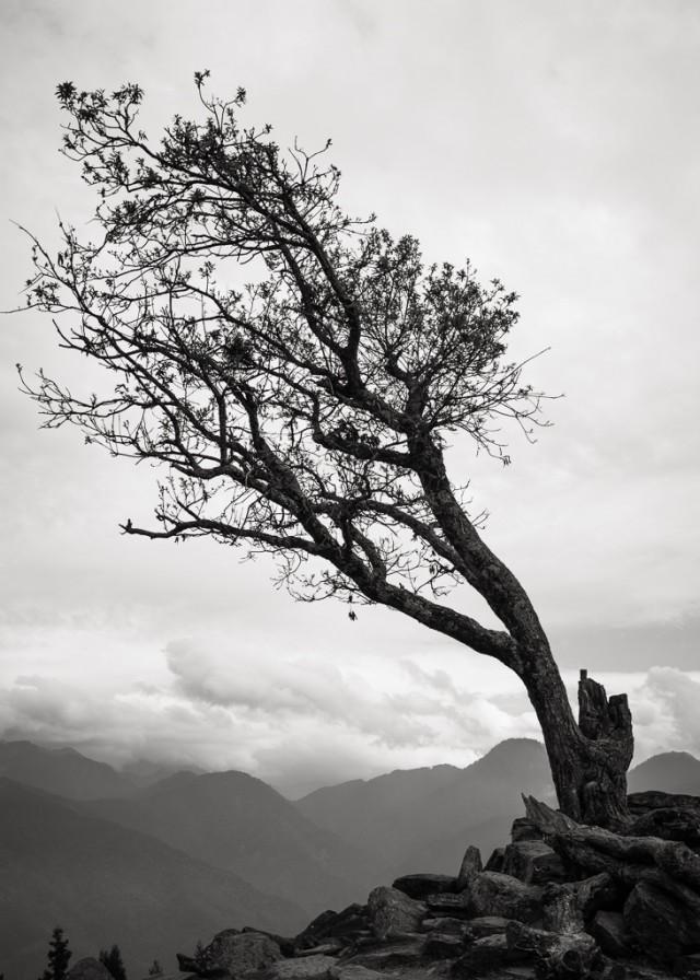 每天和無數遊客打招呼的無名孤苦老樹